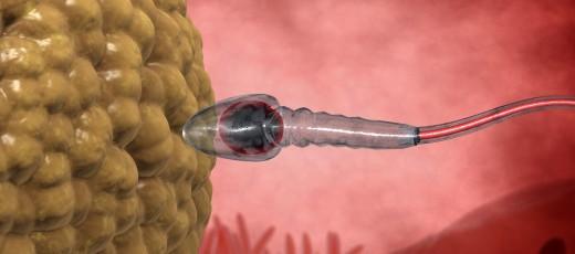 cuánto dura la ovulación